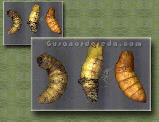 Los Gusanos de Seda (Bombyx mori)- Su vida en el interior